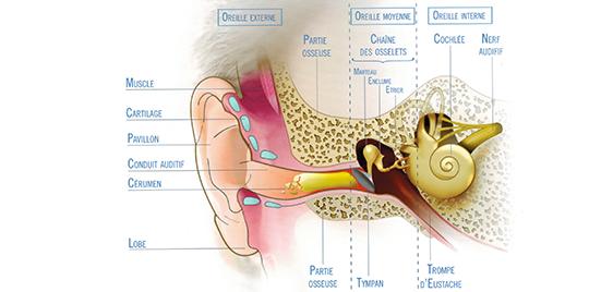 anatomie-de-l-oreille